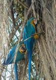 Blue macaw parrot. Tropical colorful bird Stock Photos