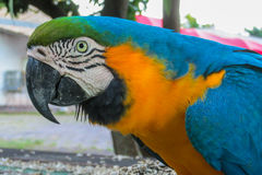 Blue macaw parrot. Tropical colorful bird Stock Images