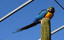 Blue Macaw Parrot on a wood perch - South Lakes Zoo Stock Images