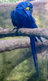 Blue macaw parrot royalty free stock photo