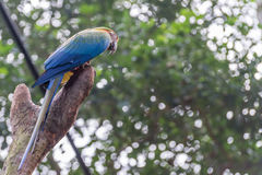 Blue macaw parrots bird on a tree branch Stock Photos