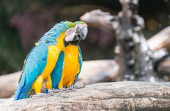 Blue macaw parrots stand on branch. Cute blue macaw parrots stand on branch Royalty Free Stock Images