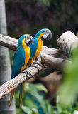 Blue macaw parrots stand on branch. Cute blue macaw parrots stand on branch Stock Photos