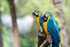 Blue macaw parrots stand on branch. Cute blue macaw parrots stand on branch Royalty Free Stock Photography