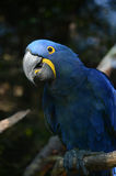 Blue macaw stock photos