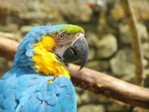Blue macaw. Portrait of a blue macaw Stock Image