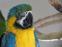 Blue macaw. Portrait of a blue macaw Stock Photo