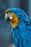 Blue macaw. Portrait of a  close-up Royalty Free Stock Images