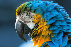 Blue macaw. Portrait of a  close-up Royalty Free Stock Photos