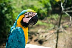 A blue macaw poses for the camera in the brazilian amazon stock photography