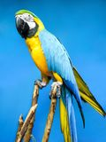 Blue macaw sitting on a branch on blue background stock images