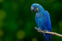 Blue macaw Stock Photography
