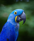 Blue macaw. A blue macaw sitting on branch at zoo Stock Photos