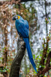 Blue Macaw on Tree Branch Royalty Free Stock Photos