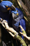 Blue Macaws Stock Photo