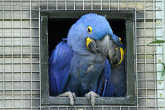 Blue Macaws Royalty Free Stock Images