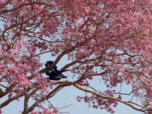 Blue macaws in pink tree Royalty Free Stock Photo