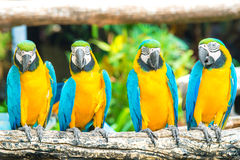 Blue macaws sitting on log with black background. Royalty Free Stock Photography
