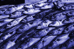 Blue mackerel Royalty Free Stock Images