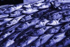 Blue mackerel Royalty Free Stock Images