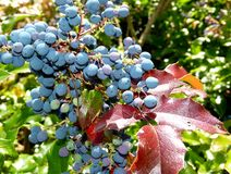 Blue maeonia berries and red leaves in full sun stock photography