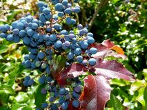 Blue maeonia berries and red leaves in full sun 2 royalty free stock photo