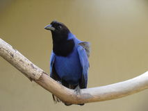 Blue magpie. Crow stock photography