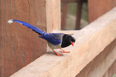 Blue magpie in amoy city, china Royalty Free Stock Photo