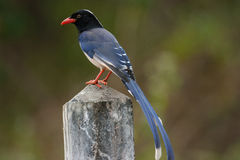 Blue Magpie Royalty Free Stock Images