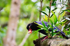 Blue magpie has lunch. Royalty Free Stock Images