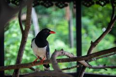 Blue Magpie on tree branch royalty free stock photography
