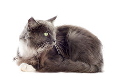 Blue maine coon cat Royalty Free Stock Image