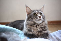 Blue maine coon cat lying on the floor Royalty Free Stock Photo