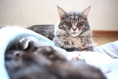 Blue maine coon cat lying on the floor Stock Image
