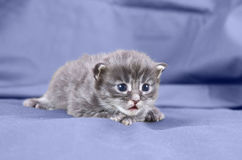 Blue maine coon kitten Royalty Free Stock Photography