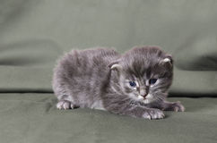 Blue maine coon kitten Royalty Free Stock Images