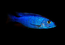 Blue malawi cichlid Royalty Free Stock Images