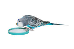 Blue male budgerigar looks in mirror Stock Images