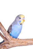 A blue male budgie Royalty Free Stock Photos