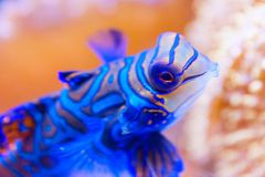 Blue Mandarin fish in Coral at the Philippines very colourfull, close-up stock images