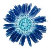 Blue Marguerite Stock Image