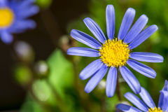 Blue marguerite Royalty Free Stock Image