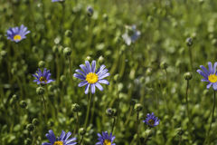 Blue marguerites Royalty Free Stock Image
