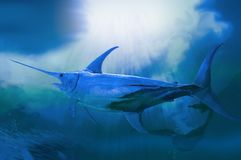 Blue marlin. A big bill fish swimming in cold stormy deep sea stock photography