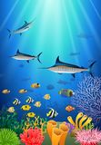 Blue Marlin Fish Swimming Under Water Royalty Free Stock Image