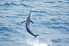 Blue Marlin jumping Royalty Free Stock Photography