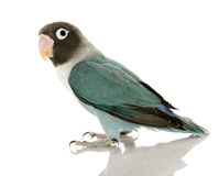 Blue Masked Lovebird - Agapornis personata. Blue Masked -Agapornis personata Lovebird in front of a white background Royalty Free Stock Image