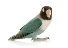 Blue Masked Lovebird - Agapornis personata. Blue Masked -Agapornis personata Lovebird in front of a white background Royalty Free Stock Photography