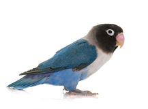 Blue masqued lovebird Stock Photography