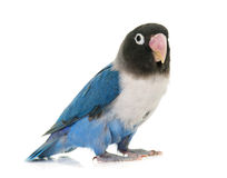 Blue masqued lovebird Stock Photos